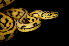 Jungle Jaguar Carpet Python on black Stock Photos