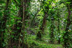 Jungle. In Hawaii royalty free stock photography