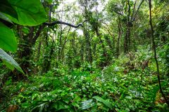 Jungle. In Hawaii royalty free stock photo