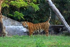 Jungle king Stock Photos