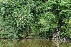 Jungle湖Landcape 免版税库存图片