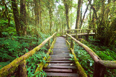 Jungle landscape. Wooden bridge at misty tropical rain forest Stock Photos