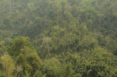 Jungle,Lao. The tropical jungle with big tree`s in Lao Stock Photo