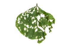 Jungle leaf white background Royalty Free Stock Photo