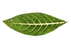 Jungle leaf white background Royalty Free Stock Photo