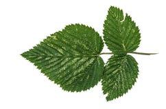 Jungle leaf white background Stock Image