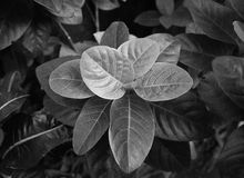 Jungle leaves summer tinted in black and white. The thick jungle leaves summer in the exotic tones in black and white Stock Photo