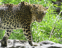 Jungle Leopard on Rocks in Sun Royalty Free Stock Photography