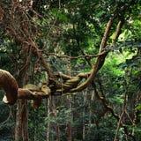Jungle. Lianas tree in the jungle of Gzbon Stock Photo