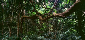Jungle. Lianas tree in the jungle of Gzbon stock photo
