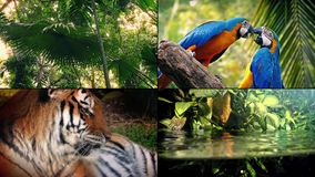 Jungle Life Montage. Four scenes of jungle life - tiger, parrots, river and trees stock video footage