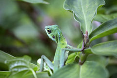 Jungle Lizard. Green lizard on a green leaf surrounded by the lush green tropical jungle of Singapore Royalty Free Stock Photo