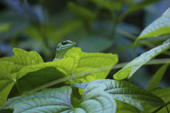 Jungle Lizard. Green lizard on a green leaf surrounded by the lush green tropical jungle of Singapore Royalty Free Stock Image