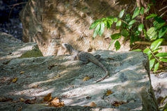 Jungle Lizard Royalty Free Stock Photography