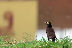 Jungle Myna Stock Photos