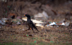 Jungle Myna. Walking on the ground looking for food Stock Images