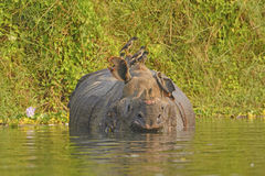 Jungle Mynas on an Indian Rhino Stock Images