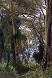 The Jungle at Ngorongoro Crater Royalty Free Stock Photography