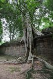 Jungle overgrowth, Angkor Wat, Cambodia Stock Photo
