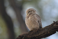Jungle owlet. The jungle owlet, or barred jungle owlet, is found in the Indian Subcontinent. The species is often found singly, in pairs or small groups and are Royalty Free Stock Photo