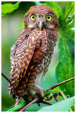 Jungle owlet in kerala. A baby Jungle owlet found in Kerala Royalty Free Stock Photo