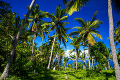 Jungle Palm trees with coconuts on a tropical island. Way through tropical palm trees to exotic beautiful beach with azure sea, Indonesia, Bali island Royalty Free Stock Photos