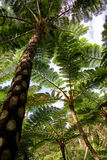 Jungle of tree ferns, Okinawa Royalty Free Stock Photography