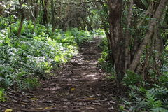 Jungle. Pathway through jungle in Hawaii Royalty Free Stock Photography