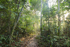 Jungle pathway in morning light. Sunlight filters through trees of jungle canopy on pathway in Amazon rainforest Royalty Free Stock Photography