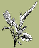 Jungle Plant. Hand drawn plant design element Royalty Free Stock Images