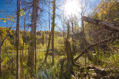 Jungle primeval forest in swamp of Plitvice Stock Photography