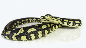 Jungle python Stock Photography
