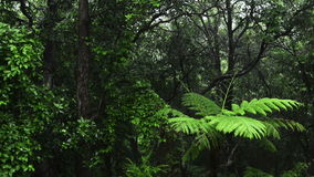 Jungle Rain. Lush green jungle with heavy rain falling on the trees and ferns stock footage