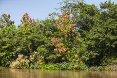 Jungle Riverbank with Flowering Trees,Blue Skies Royalty Free Stock Photo