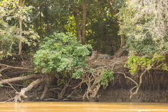 Jungle Riverbank Landscape with Resting Jaguar Royalty Free Stock Image