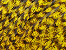 Jungle rooster's feathers. Close up light olive feathers of jungle rooster. Selective focus Royalty Free Stock Photo