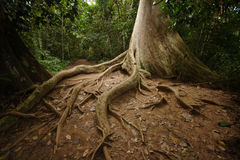 Jungle Roots Stock Images
