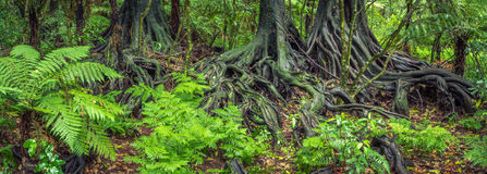 Jungle roots. Tree roots and ferns in tropical jungle stock photography
