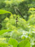 Jungle Spider in its web. Jungle Spider with its cobweb trap Stock Photography