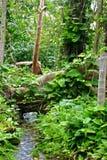 Jungle Stream Flows under Root. A lush rain forest stream flows under a giant root Stock Images