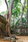 The jungle taking over temple ruins at Ta Prohm Stock Photo