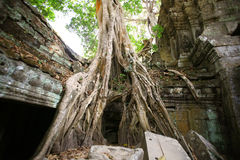 Jungle at temple of Angkor Wat in Cambodia Royalty Free Stock Photography