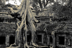 Jungle temple ta prohm in cambodia Stock Photos