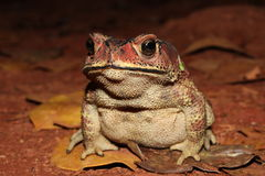 Jungle toad. Wildlife photography of a jungle toad Stock Photography