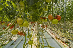 Jungle of tomato. Pretty scenery of tomatoes of the greenhouses, one imagined in a jungle with lianas that run from one plant to another. The cultivation in cold Stock Image