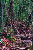 Jungle trails after rain revealing labyrinth of tree roots in tropical rain forest of Sabbah, Borneo Malaysia Royalty Free Stock Photo