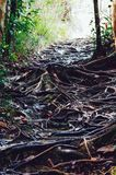 Jungle trails after rain revealing labyrinth of tree roots in tropical rain forest of Sabbah, Borneo Malaysia Stock Images