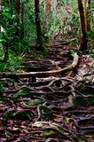 Jungle trails after rain revealing labyrinth of tree roots in tropical rain forest of Sabbah, Borneo Malaysia Stock Image