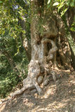Jungle tree. Many forests around Siam Reap form a dense jungle in Cambodia Stock Photos