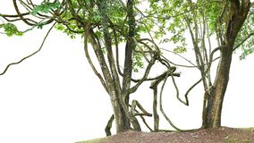Jungle trees with large vines liana plant climbing and twisted a Stock Photos